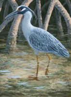 Bird Study - Yellow Crowned Night Heron