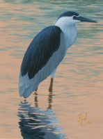 Water Study - Black Crowned Night Heron