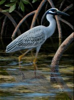 Yellow Crowned Night Heron II