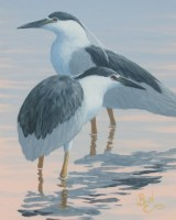 Color Study - Black Crowned Night Herons